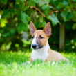 Red miniature bull terrier puppy — Stock Photo