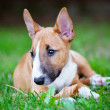 Stock Photo: Red miniature bull terrier puppy