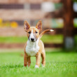 Red miniature bull terrier puppy — Stock Photo #29453577