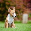 Red miniature bull terrier puppy — Stock Photo #29453589