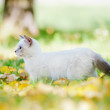 Munchkin kitten outdoors — Stock Photo