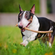 English bull terrier dog playing with a stick — Stock Photo