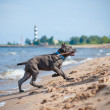 Cane corso puppy on the beach — Foto de Stock