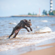 Cane corso puppy on the beach — Foto Stock