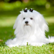 Maltese dog outdoors — Stock Photo #30797479