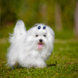 Maltese dog outdoors — Stock Photo