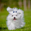 Stock Photo: Maltese dog outdoors