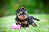 Adorable mini yorkshire terrier puppy outdoors — Stock Photo