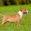 Red english bull terrier puppy playing outdoors — Stock Photo