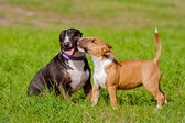 Two english bull terrier dogs playing outdoors — Stock Photo
