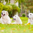 Adorable golden retriever outdoors — Stock Photo #31564289