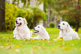 Adorable golden retriever outdoors — Stock Photo
