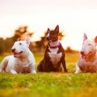 Three english bull terrier dogs — Stock Photo #33114555