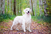 Golden retriever dog in the forest — Stock Photo