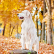 Golden retriever dog — Stock Photo
