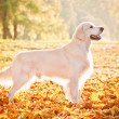 Golden retriever dog — Stock Photo #33433059