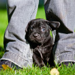 Stock Photo: Adorable cane corso puppy