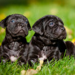 Adorable cane corso puppies — Stok fotoğraf