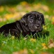 Adorable cane corso puppy — Stock Photo #33433175