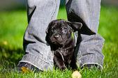 Adorable cane corso puppy — Stock Photo