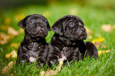 Adorable cane corso puppies — Stock Photo