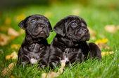 Adorable cane corso puppies — Stock Photo
