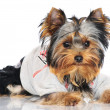 Adorable yorkshire terrier puppy — Stock Photo