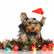 Yorkshire terrier puppy in a santa hat — Stock Photo