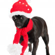 Black little dog — Stock Photo