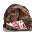 Stock Photo: Chocolate labrador retriever puppy