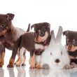 Adorable russian toy terrier puppies with a rabbit — Stock Photo