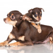 Russian toy terrier dog with puppies — Stock Photo