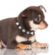 Adorable brown russian toy terrier puppy — Stock Photo