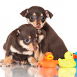 Two puppies with rubber ducks — Stock Photo