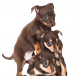 Three brown puppies together — Stock Photo