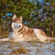 Adorable siberian husky dog — Stock Photo #38911685