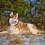 Adorable siberian husky dog — Stock Photo
