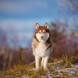 Stock Photo: Adorable siberian husky dog