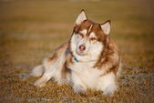 Adorable siberian husky dog — Stock Photo