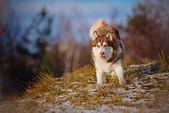 Adorable siberian husky dog — Stockfoto