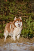 Adorable siberian husky dog — Stock fotografie