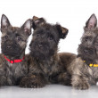 Cairn terrier puppies — Stock Photo