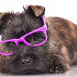 Stock Photo: Cairn terrier puppy
