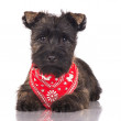 Cairn terrier puppy — Stock Photo