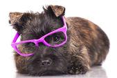Cairn terrier cucciolo — Foto Stock