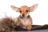 Russian toy terrier puppy — Stock Photo