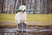 Golden retriever dog with an umbrella — Stock Photo