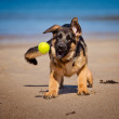Adorable german shepherd puppy — Stock Photo