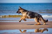 Filhote de cachorro adorável pastor alemão — Fotografia Stock