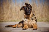 Adorable german shepherd puppy — Stockfoto